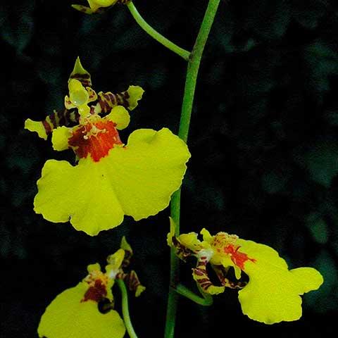 Oncidium (templados)